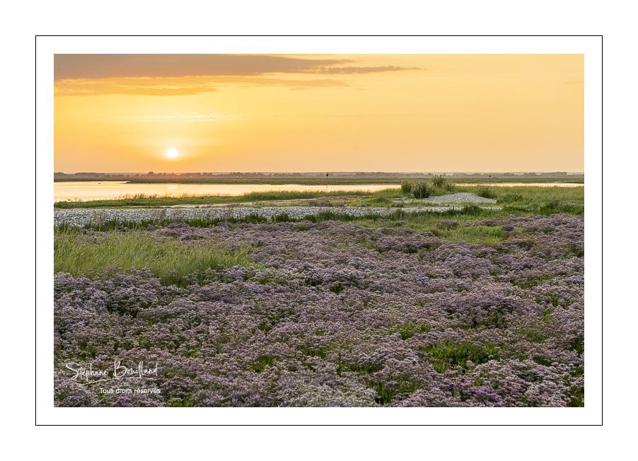 Au Cap Hornu, les lilas de mer