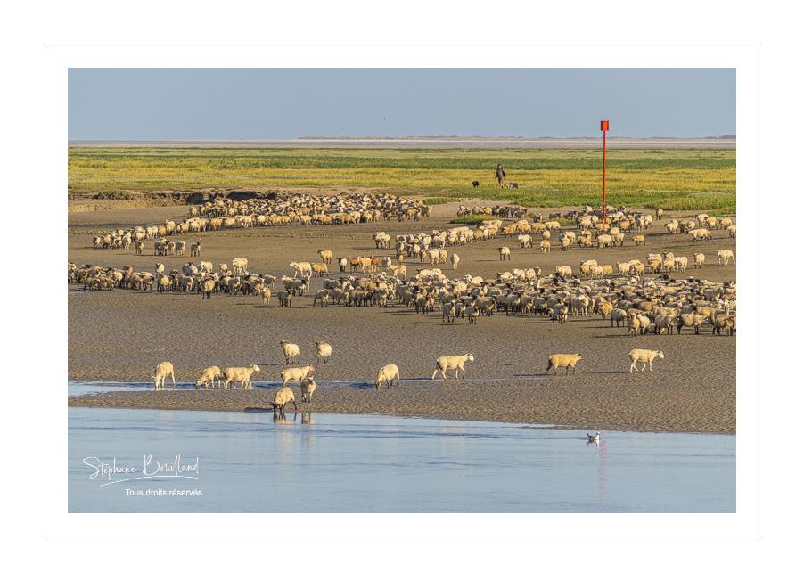 Rencontre avec les agneaux de prés salés