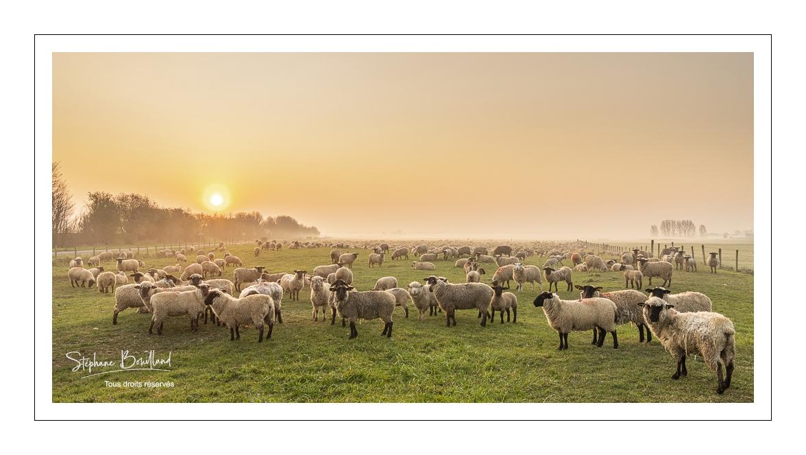 Les moutons d'estran de la baie de Somme