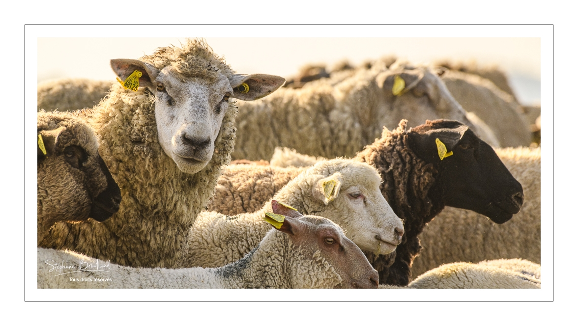 L'agneau de prés-salés de la baie de Somme