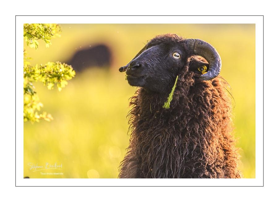 Les moutons d'Ouessant de la maison de la baie de Somme