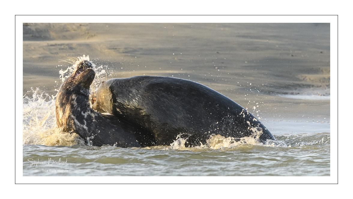 Jeux de phoques gris