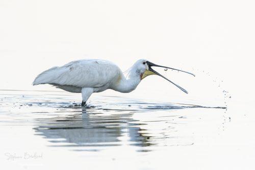 Spatule blanche en train de pêcher, Marais du Crotoy, Le Crotoy, Baie de Somme