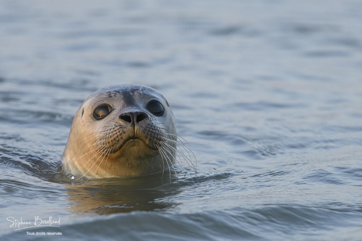 Phoque commun, ou veau marin (Phoca vitulina) en Baie de Somme