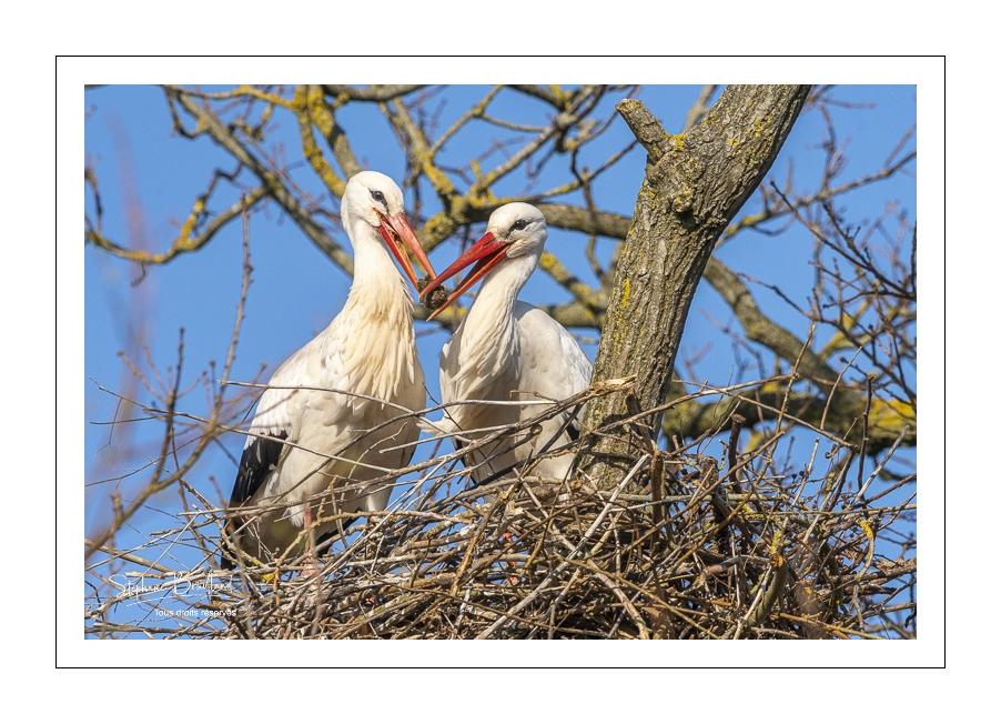 La nidification des cigognes en baie de Somme