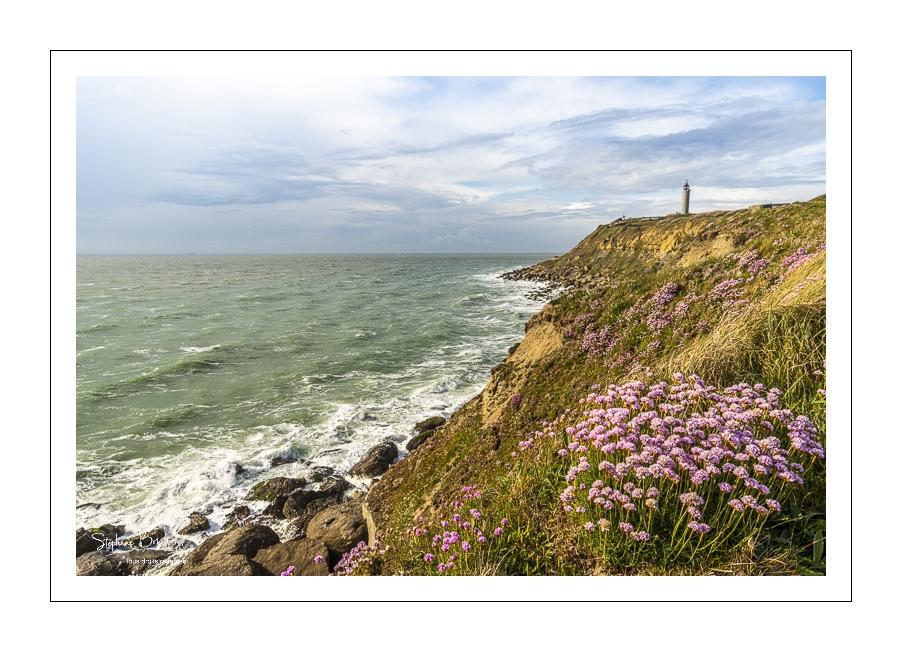 Arméries maritimes en fleurs sur la côte d'Opale