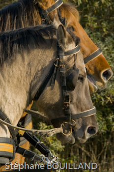 Attelage de chevaux Hensons lors de la Transhenson 2008